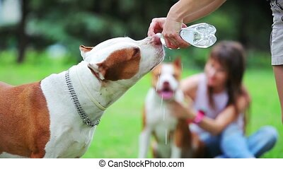 Pit bull terrier drinks water - Dog drinks water from a...