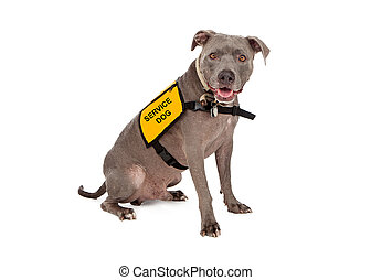 Pit Bull Wearing Service Dog Vest - A happy blue Pit Bull...