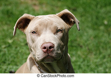 Pit Bull young dog - Pretty champagne colored pit bull pup