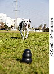 pitbull, 動くこと, ∥に向かって∥, 犬, おもちゃをかみなさい, ∥において∥, ∥, 公園