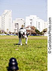 pitbull, 動くこと, へ, 犬, おもちゃ, 上に, 公園, 草