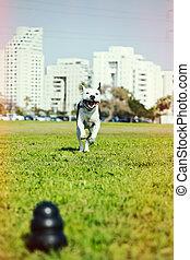 pitbull, 動くこと, へ, 犬, おもちゃ, 上に, 公園, 草, 十字 プロセス