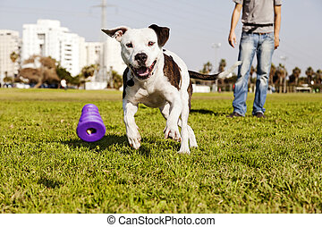 A Pitbull dog running after its chew toy with its owner standing close by.