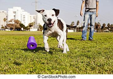 Pitbull Running after Dog Chew Toy - A Pitbull dog running...