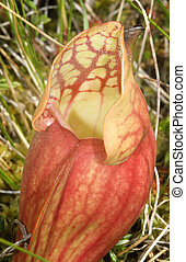 Pitcher Plant - Pitcher p[lant growing in wild