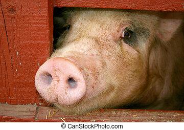 Swine at the fair