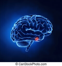 pituitário, glândula, parte, -, cérebro humano, em, raio x,...