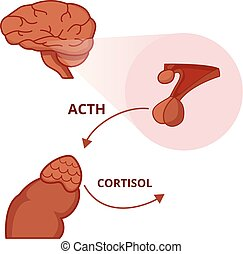 Pituitary and adrenal gland. Adrenocorticotropic hormone function