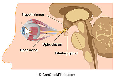 Pituitary gland and optic chiasm