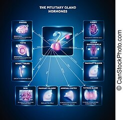 Pituitary gland hormones - Pituitary gland secreted hormones...
