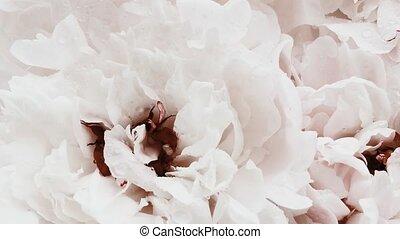 pivoine, fleur, vacances, fleurs, blanc, arrière-plan pastel...