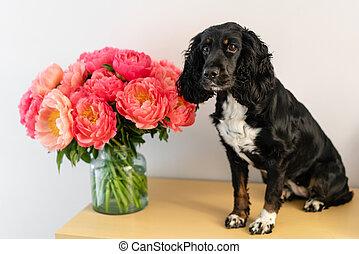 pivoines, beau, chien, fleurs, pivoine, séance, corail, shop., espace, épagneul, delivery., russe, verre, noir, floral, copie, vase.