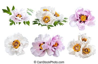 pivoines, fleur, isolé