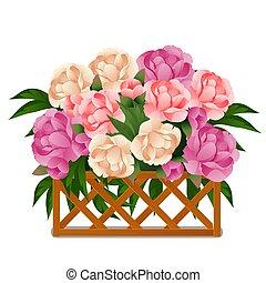pivoines, gros plan, illustration., barrière, arrière-plan., bois, blanc, isolé, treillis, derrière, vecteur, fleurir, dessin animé