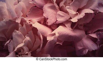 pivoines, vacances, vendange, fond, mariage, floral, fleur, ...