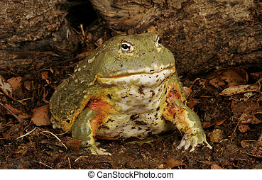 pixie żaba