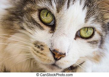 Pixie-bob - Close-up of a Pixie-bob cat