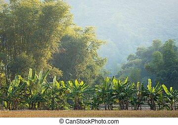plátano, y, árboles de bambú