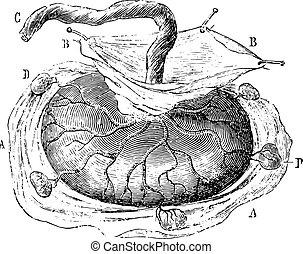 placenta,  cotyledons, vendimia, aislado, cinco, Grabado