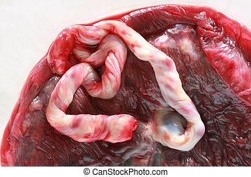 placenta, lidský