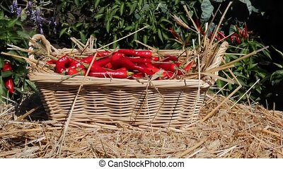 chili peppers - placing chili peppers in a wicker basket in...