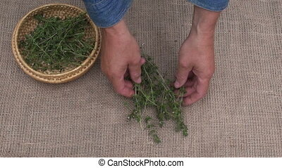 placing herbs to dry on linen - Man herbalist blue shirt...