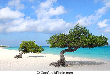 plage aigle, aruba, arbres, divi