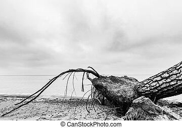 plage, après, arbre, storm., mer noire, blanc, baissé