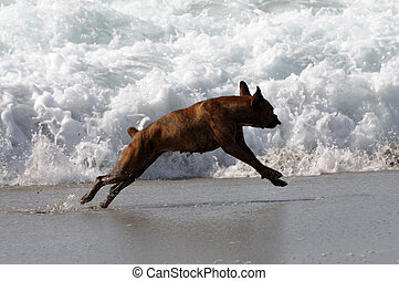 plage, chien, jouer