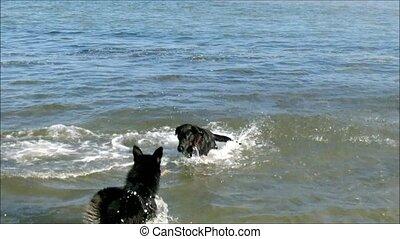 plage, chiens, jouer