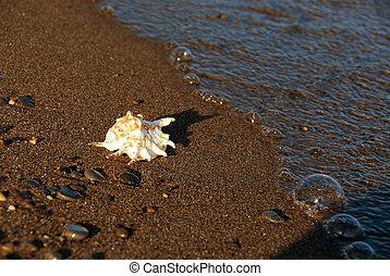 plage coquille, mer