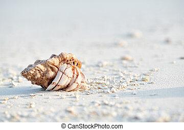 plage, crabe, ermite