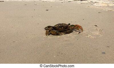 plage, crabe, zoom, mer