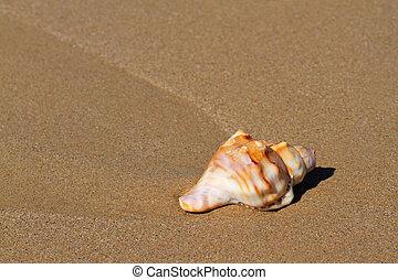 plage, seashell