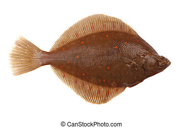 Plaice Fish (Pleuronectes platessa) Isolated on White ...