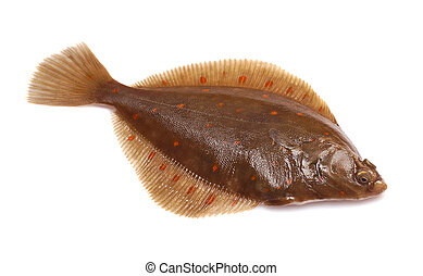 Plaice Fish (Pleuronectes platessa) on White Background
