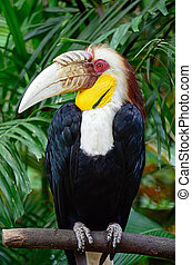 plain-pouched, hornbill, マレ