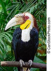 plain-pouched, hornbill, mannelijke