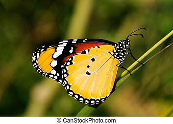 A Plain tiger butterfly perching on a plant