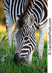 plaines, herbe, vert, zebra, pâturage