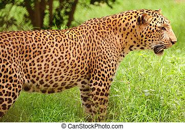 plaines, léopard