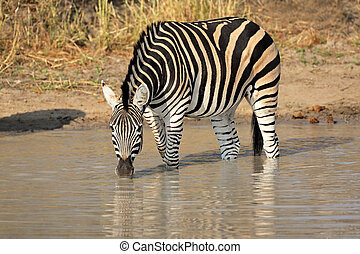 Plains Zebra drinking - A Plains (Burchells) Zebra (Equus...
