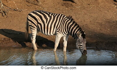 A Plains (Burchell%u2019s) Zebra (Equus quagga) drinking water, Mkuze game reserve, South Africa