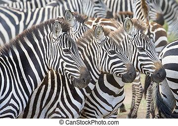 Plains zebra (Equus burchellii) herd - Portrait of three...