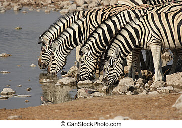 Plains Zebra (Equus quagga) at the waterhole in the Etosha...