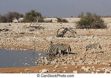 Plains Zebra (Equus quagga) at the waterhole in the Etosha National Park, Namibia
