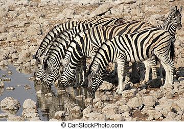 Plains Zebra (Equus quagga) drinking at the waterhole in the Etosha National Park, Namibia