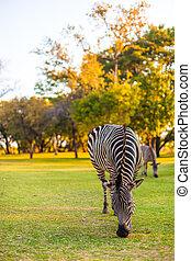 Plains zebra (Equus quagga) grazing