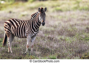 Plains Zebra (Equus quagga) in the Amakhala Game Reserve,...