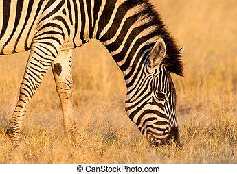 Plains zebra (Equus quagga) in the grassy nature, evening...